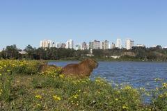 Kapibar odpoczywać Fotografia Royalty Free