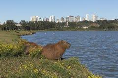 Kapibar odpoczywać Zdjęcie Royalty Free