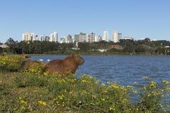 Kapibar odpoczywać Obraz Royalty Free