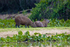 kapibara Obrazy Stock
