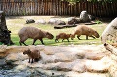 Kapibara Imagen de archivo