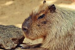 Kapibara Immagine Stock