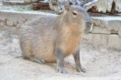 Kapibara Zdjęcie Royalty Free