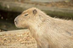 Kapibara Obrazy Royalty Free