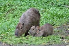 Kapibara Zdjęcia Stock