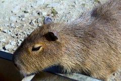 Kapibara Obraz Stock