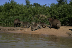 Kapibara, Hydrochoerus hydrochaeris Zdjęcie Stock