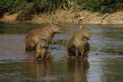Kapibara, Hydrochoerus hydrochaeris Fotografia Stock