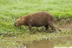 Kapibara (Hydrochoerus hydrochaeris) Obraz Stock