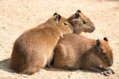Kapibara (Hydrochoerus hydrochaeris) jest wielkim ślepuszonką w th Fotografia Stock