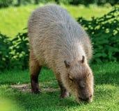 Kapibara, Hydrochoerus hydrochaeris pasa na świeżej zielonej trawie zdjęcie royalty free