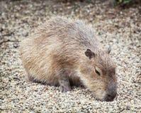 Kapibara (Hydrochoerus hydrochaeris), zwierzęca scena Obrazy Royalty Free
