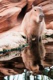 Kapibara, Kapibara, Chigà ¼ gniew Zdjęcie Royalty Free