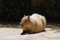 Kapibara na ziemi Zdjęcia Stock