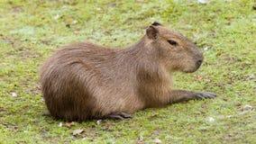 Kapibara odpoczywa na zielonym gazonie Zdjęcia Royalty Free