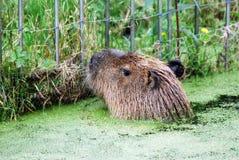 Kapibara patrzeje dla jedzenia w wodzie Obraz Stock