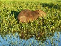 Kapibara przy Esteros Del Ibera Zdjęcie Royalty Free
