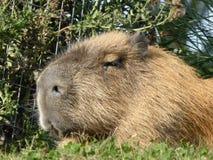 Kapibara przyglądająca za świacie przy fotografia stock