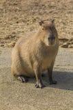 Kapibara siedzący portret Fotografia Stock