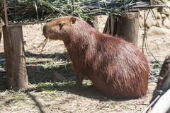Kapibara w Gramado zoo Brazylia Zdjęcie Stock
