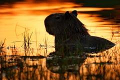Kapibara w jeziornej wodzie Duża mysz dookoła świata, kapibara, Hydrochoerus hydrochaeris z wieczór światłem podczas słońca, obrazy royalty free