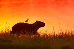 Kapibara w jeziornej wodzie z ptakiem Duża mysz dookoła świata, kapibara, Hydrochoerus hydrochaeris z wieczór światłem, zdjęcia stock