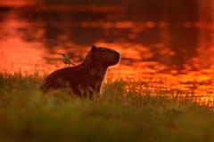 Kapibara w jeziornej wodzie z ptakiem na plecy Duża mysz dookoła świata, kapibara, z wieczór światłem podczas pomarańcze s zdjęcia stock