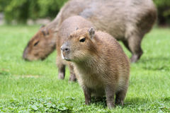 kapibary 02 potomstwa Fotografia Royalty Free
