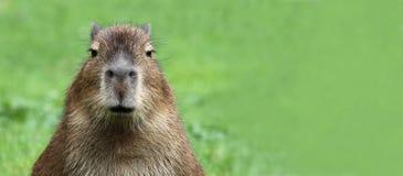 kapibary 02 potomstwa Zdjęcie Stock