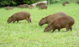 Kapibary Zdjęcia Royalty Free
