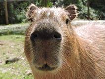 Kapibary Cuteness Zdjęcia Royalty Free