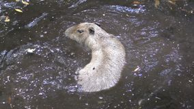 Kapibary dopłynięcie zdjęcie wideo