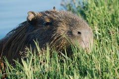 Kapibary dopłynięcie w wodzie Zdjęcia Royalty Free