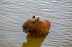 Kapibary Hydrochaeris hydrochaeris pływa spokojnie zdjęcia stock