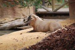 Kapibary lying on the beach na gospodarstwie rolnym obrazy royalty free