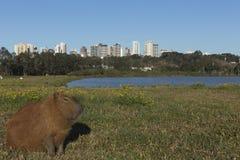 Kapibary odpoczywać Fotografia Stock