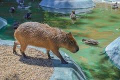 Kapibary odprowadzenie w jeziornej stronie obraz royalty free