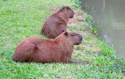Kapibary zbliżają jezioro Zdjęcie Royalty Free
