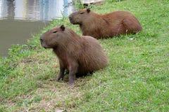Kapibary zbliżają jezioro Zdjęcia Royalty Free