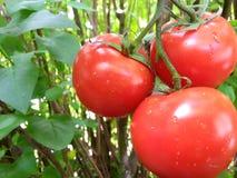 Kapiący czerwoni pomidory Fotografia Royalty Free