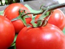 Kapiący czerwoni pomidory Zdjęcie Stock