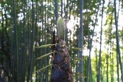 Kapinos od bambusa kiełkowego lub bambusowego krótkopędu w ranku Fotografia Stock