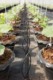 Kapinosa system irygacyjny dla organicznie melonowej rośliny Zdjęcie Royalty Free