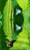 kapinosa zielone liści, Obrazy Stock