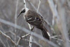 Kapiszonu mockingbird, Galapagos Obrazy Stock