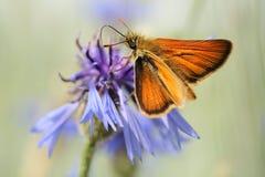 Kapitän Browns Kolbiger auf Flockenblume Stockfotografie