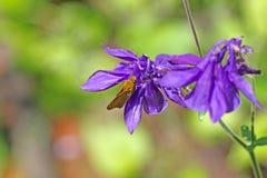 Kapiteinsvlinder op purpere bloemen Royalty-vrije Stock Afbeelding