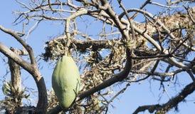 Kapoc cercano en la granja Foto de archivo libre de regalías