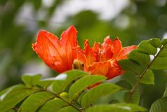 Kapoc rojo, flor común del bombax en la plena floración con la hoja verde Imágenes de archivo libres de regalías