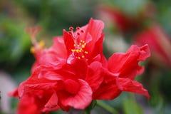 Kapoc rojo, flor común del bombax en la plena floración con la hoja verde Fotos de archivo libres de regalías
